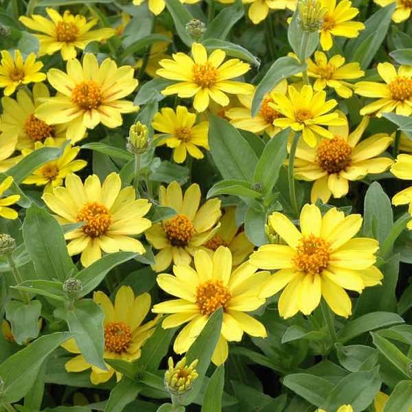 Zinnia double profusion yellow greenhouse at jatc south zinnia double profusion yellow mightylinksfo